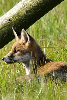 phototoartguy: Fox (by WildPlaces)