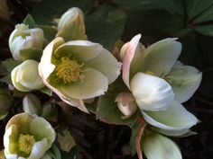 Hellebore Ivory Prince blooms in winter to early spring