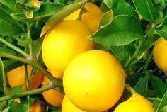 Агротехника выращивания цитрусовых в комнате сложна. Начинать следует с лимона, выращивание и уход в домашних условиях за ним проще, чем за другими неженками. Молодой кустик можно купить, а можно выра...