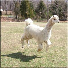 omg flying llama!