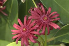 Mexican Anise-Tree - Monrovia - Mexican Anise-Tree