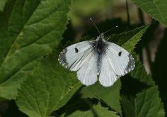 Finland, Aurora, Bugs, Butterflies, Scenery, Wildlife, Tattoo, Nature, Summer