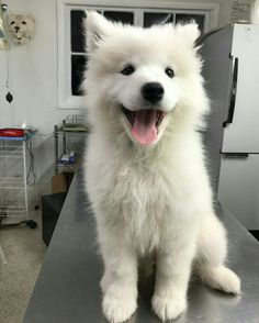 haski dog Perfect Little Brother Cute Dogs And Puppies, Baby Dogs, Pet Dogs, Dog Cat, Happy Animals, Cute Baby Animals, Animals And Pets, Beautiful Dogs, Animals Beautiful