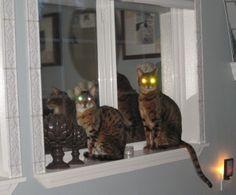 My Bengal laser cats, Milo & Tigerlily =)