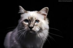 Beautiful Birman Kitten by Natassja Berg Hviid on 500px