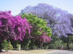Jacaranda and Bougainvillea