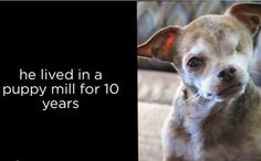 Harley, the Puppy Mill Survivor, Wins American Hero Award - This week one tiny little chihuahua is making big headlines after going from the deplorable conditions of a puppy mill to the red carpet as a winner at the fifth annual 2015 American Humane Association Hero Dog Awards.