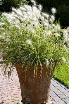 Graminée Pennisetum villosum Plus White Gardens, Small Gardens, Outdoor Gardens, Balcony Garden, Garden Planters, Container Plants, Container Gardening, Ornamental Grasses, Plantation