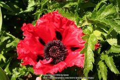 Oriental Poppy 'Carmen' (Papaver orientale)