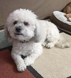 bichon shih tzu rescue adopt me on pinterest animal rescue maine coon and 5230