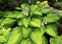 Journey's End Hosta - Shade Perennial Large Sun Tolerant Hosta Plant