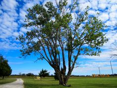 This tree is near a century old at Clay Crossing. It has survived drought and rainy seasons.