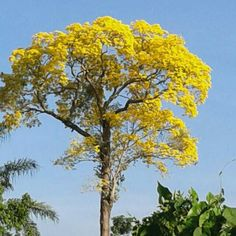 Beautiful tree with yellow flowers in Suriname