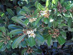 Pittosporum. http://www.elhogarnatural.com/Arboles.htm