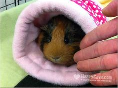 How to Build A Stronger Bond With Your Guinea Pig | The Guinea Pig ...