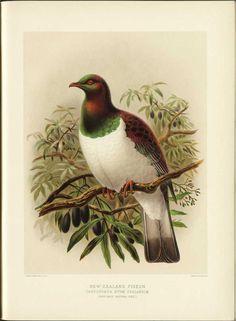 Kereru - New Zealand wood pigeon  'A History of the Birds of New Zealand', 1888 by Sir Walter Lawry Buller    http://en.wikipedia.org/wiki/New_Zealand_Pigeon