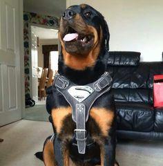 Super #Rottweiler