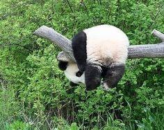 :) pandas are so cute! silly panda what are you doing? Panda Meme, Niedlicher Panda, Cute Panda, Panda Funny, Animals And Pets, Baby Animals, Funny Animals, Cute Animals, Baby Pandas