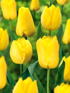 Tulip Non Stop Yellow Super Saver Pack -- Bluestone Perennials Organic Fertilizer, Organic Gardening, Fresh Flowers, Beautiful Flowers, Flowers For Algernon, Yellow Tulips, Super Saver, Organic Seeds, Fall Plants