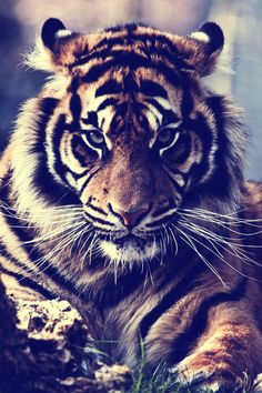 I like the colors of tigers. The intensity of the eyes is attractive
