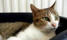 Ocarina, femelle, née en avril 2009 Les Pachas Association Protection féline Rennes (adoption chat)