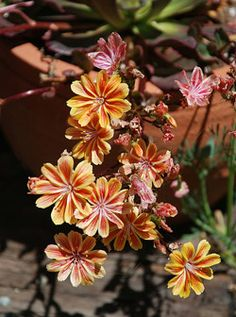 California native plants in containers :: California Native Plant Society  ::  Cliff's Maids (Lewisia cotyledon)
