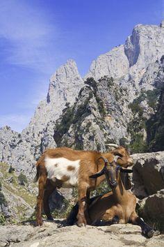 Cabras en Castilla y León
