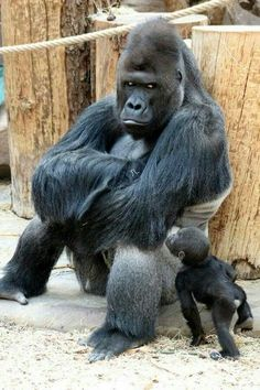 animals wild Richard the gorilla sits in a sulking pose as his newborn son Ajabu tries to get his dads attention at Prague Zoo Zoo Pictures, Animal Pictures, Nature Animals, Animals And Pets, Zoo Animals, Cute Baby Animals, Funny Animals, Newborn Animals, Baby Gorillas