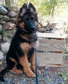 Long haired king German shepherd puppy Everything you want to know about GSDs. Health and beauty recommendations. Funny videos and more