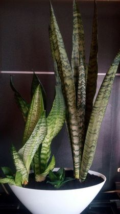 Sansevieria Plant, Snake Plant, Cactus Plants, Spiritual, Sansevieria Trifasciata, Cacti, Cactus