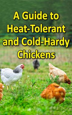 A Guide to Heat-Tolerant and Cold-Hardy Chicken Breeds - Countryside Network Best Egg Laying Chickens, Types Of Chickens, Raising Chickens, Leghorn Chickens, Bantam Chickens, Backyard Poultry, Chickens Backyard, Poultry Breeds, Chicken Feeders