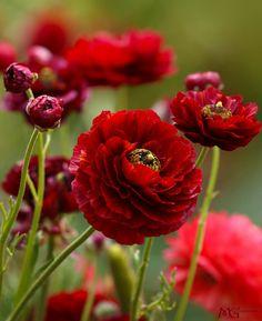 studioview:  Red Ranunculus (by Marcie Gonzalez)
