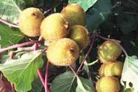 Kiwi Elmwood Fuzzy Fruit On Vine