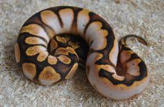 Enchi sugar ball python