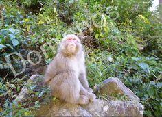 Digital Picture/Photo/Wallpaper/Desktop Background/Snow Monkey/Japan #23