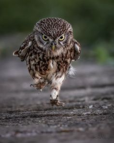 This little Owl is focused and on a mission. Photo by Simon Wantling. [x-post from /r/Awramba] Funny Owls, Funny Birds, Cute Funny Animals, Cute Baby Animals, Owl Photos, Owl Pictures, Funny Animal Pictures, Beautiful Owl, Animals Beautiful