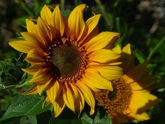 http://res.freestockphotos.biz/pictures/4/4193-closeup-of-a-large-sunflower-pv.jpg