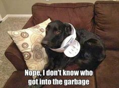 """Nope, I don't know who got into the garbage."" ~ Dog Shaming shame - Black Labrador"