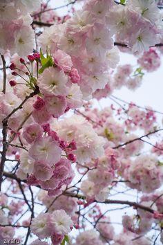 Prunus lannesiana Prunus, Spring Blossom, Trees To Plant, Flower Arrangements, Gardens, Spaces, Flowers, Nature, Floral Arrangements