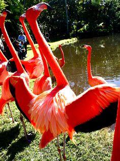 Flamingos - #Sarasota Jungle Gardens (Sarasota, Florida) #florida #jungle #familyfun #loveyourcity