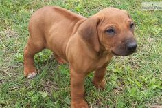 Rhodesian Ridgeback puppy I WANT ONE SO BADLY! I would name him Luca or Webster.