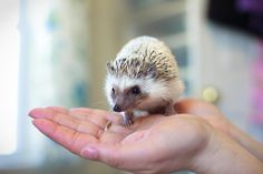 African Pygmy hedgehogs live an average of just three to five years. | Hedgehogs are increasingly popular as pets. Would you consider getting one?