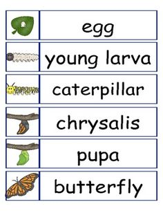 Life Cycle of a Butterfly Butterfly Kids, Butterfly Life Cycle, Butterfly Crafts, Kindergarten Science, Teaching Science, Science Activities, Sequencing Activities, Spring Activities, Science Lessons