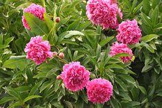 Irrigation, Peony Bush, Peony Flower, Belgian Beer, Plantation, Types Of Flowers, Flower Photos, Peonies, Arts And Crafts