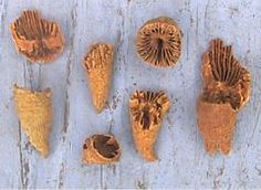 """Indiana fossils.  Rugose coral  """"horn coral"""""""