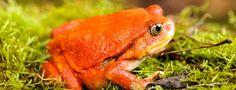 Le crapaud rouge de Madagascar, Dyscophus antongilii, parfois appelé grenouille-tomate, est une espèce d'amphibiens de la famille des Microhylidae.