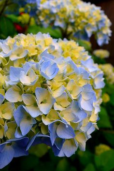 Yellow and Blue Hydrangea, I love these and have them planted everywhere.