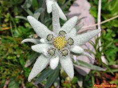 Flowers of Switzerland,  Edelweiss -  Flowers -  edelweiss, alpenaster, fleur, flower,