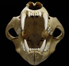 The Skull of an African lion. A lion's bite can exert 1000 pounds of force, enough to crack the skulls of other large mammals easily.