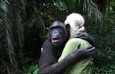 Jane Goodall gets a hug from Wounda, who was nursed back to health after a serious illness, upon her release at an island sanctuary for chim...